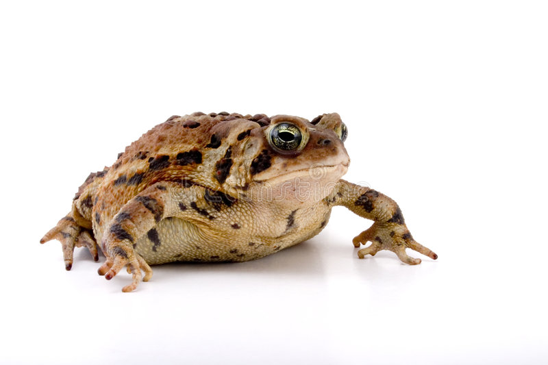 Creeping Toad. Fat Creeping Toad isolated against a white background stock photography