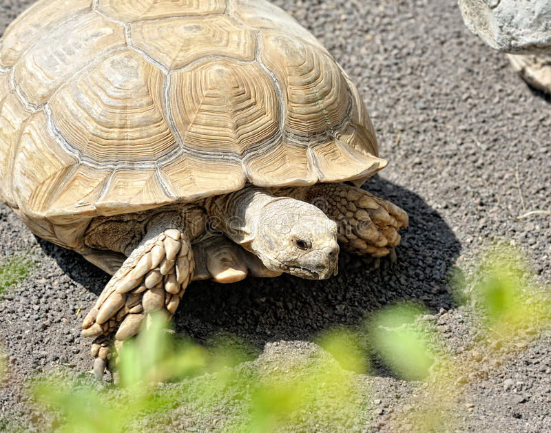 Download The Creeping Turtle On The Nature. Stock Photo - Image: 26211948