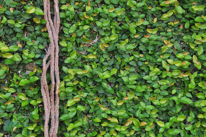 Creeping Wall Fig stock images