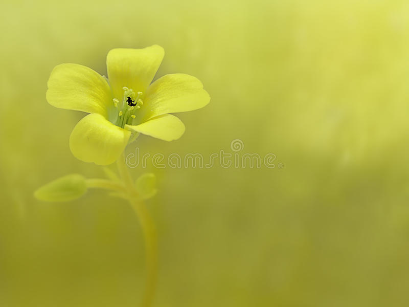 Download Creeping woodsorrel stock image. Image of flower, corniculata - 17853665