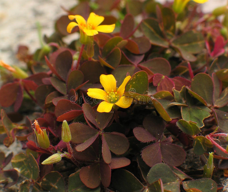 Creeping Woodsorrel leaves, flowers & fruits. Creeping Woodsorrel (Oxalis corniculata var. atropurpurea), the creeping woodsorrel, also called procumbent yellow royalty free stock photography