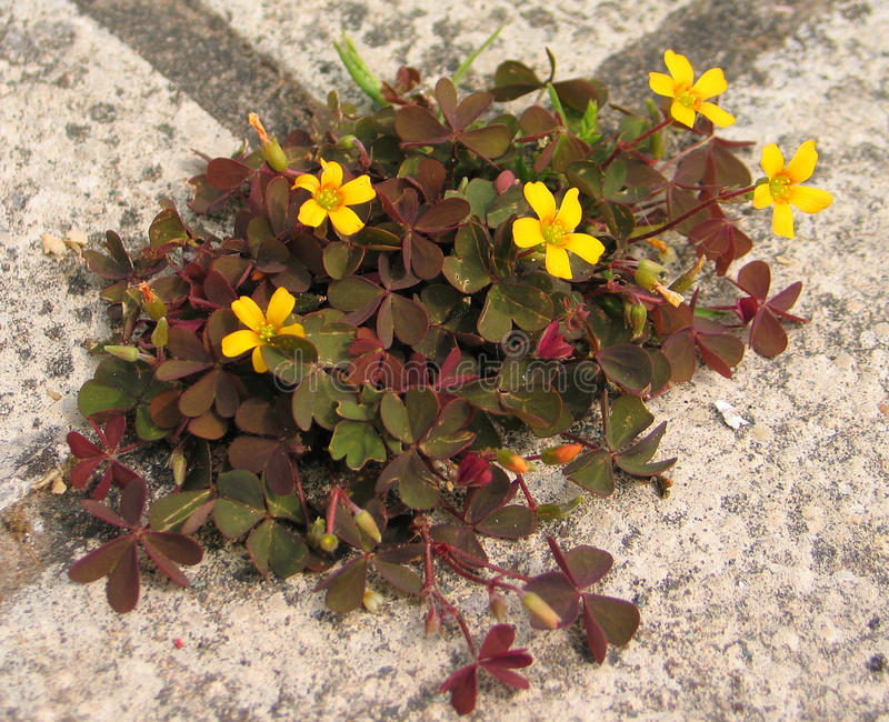 Creeping Woodsorrel (Oxalis corniculata var. atropurpurea). Oxalis corniculata, the creeping woodsorrel, also called procumbent yellow-sorrel or sleeping beauty stock images