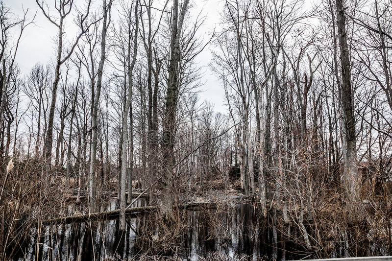 Creepy Barren Swamp Forest. A creepy swamp forest looks completely dead and dismal royalty free stock photos