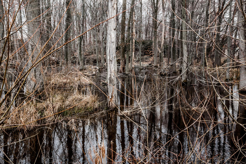 Creepy Barren Swamp Forest. A creepy swamp forest looks completely dead and dismal royalty free stock images