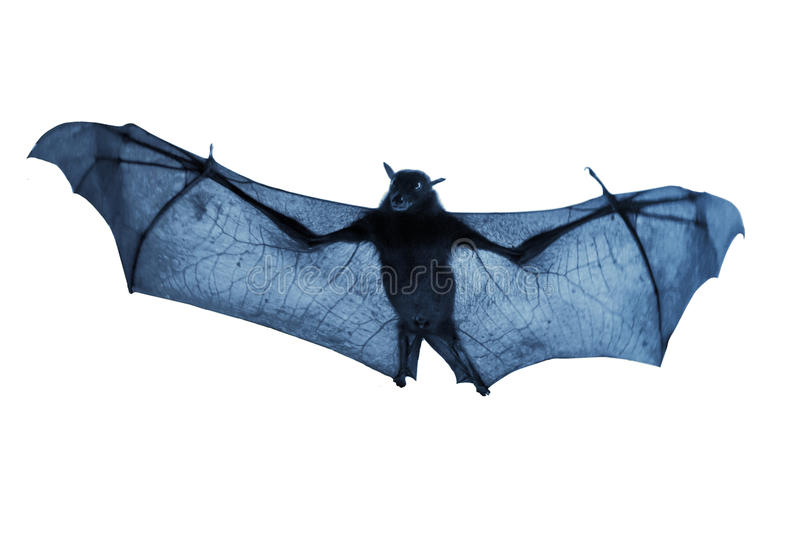 Download Creepy Blue Nighttime Flying Halloween Bat Isolated On White Royalty Free Stock Photography - Image: 34222707