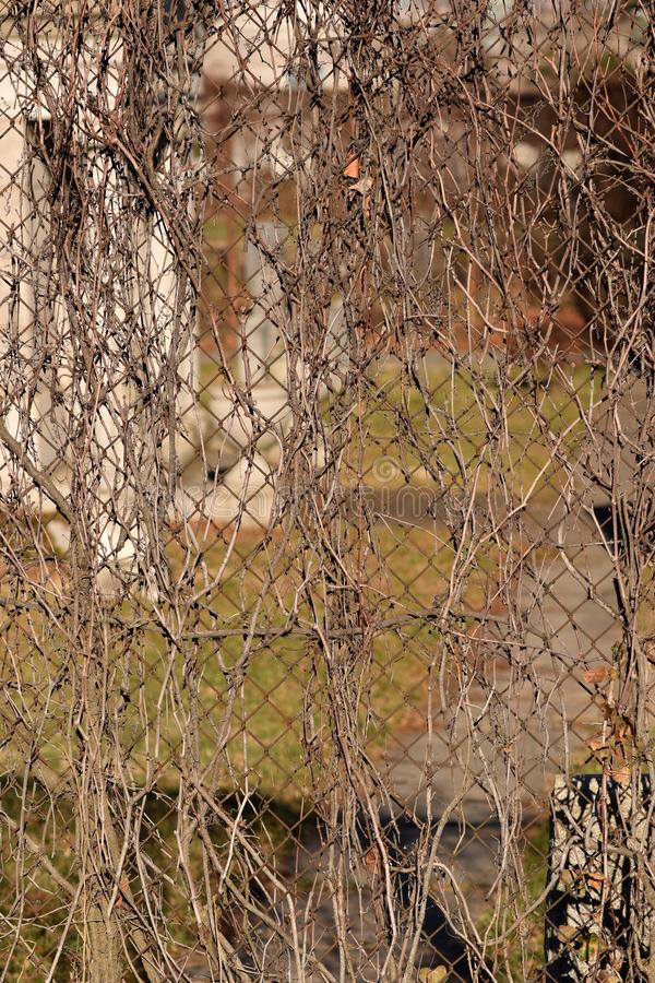 Creepy Brown Vine Cemetery Abstract Texture Background. Creepy brown vines wound through rusty chain link fence with a blurred cemetery background in the bokeh stock image
