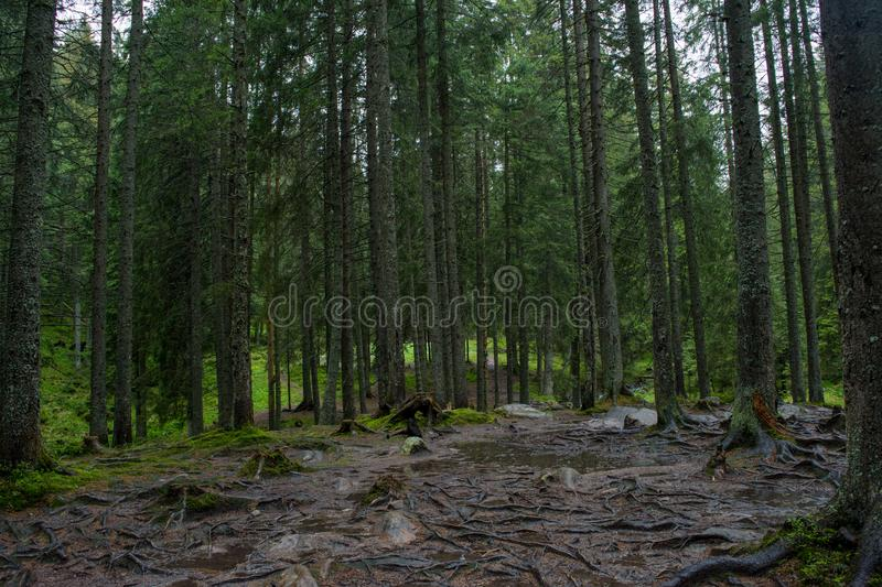 Creepy dark forest with tall trees stock images