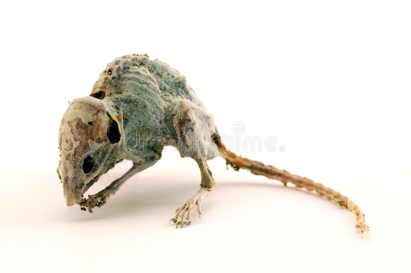 A creepy dead mouse 2 royalty free stock images