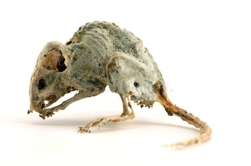 A creepy dead mouse 3 stock photo