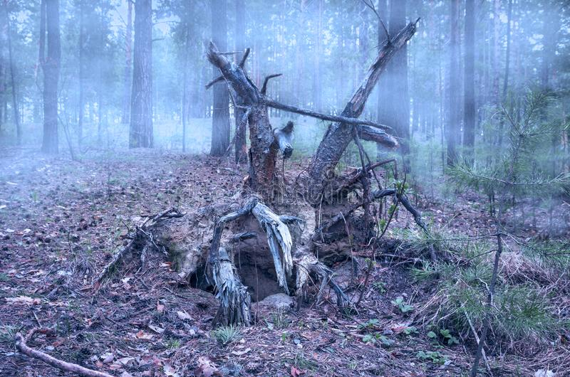Creepy Fallen Pine Tree Twisted Roots in the Mysterious Forest on a Foggy Early Spring Morning stock image