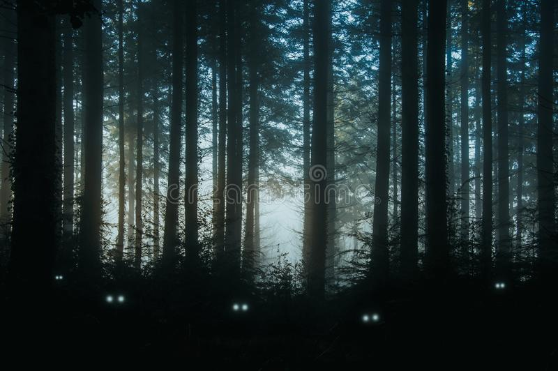 A creepy, fantasy forest of pine trees, back lighted with spooky, glowing eyes of creatures in the undergrowth.  stock images