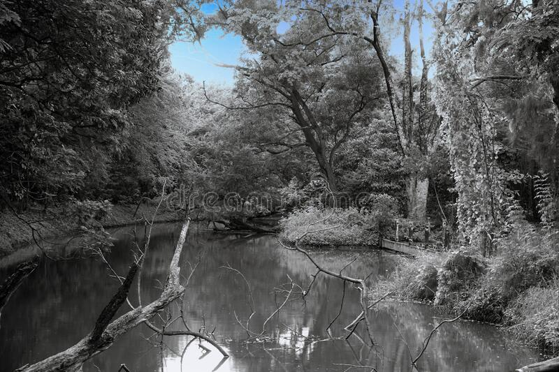 Creepy old pond and decay wood in forest with blue sky at twilight scenic , infrared toned image. Creepy old pond and decay wood in forest with blue sky at royalty free stock photo