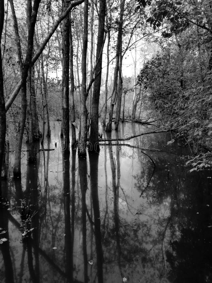 Creepy swamp reflections. Creepy trees reflected in swamp water in a forest black and white royalty free stock image
