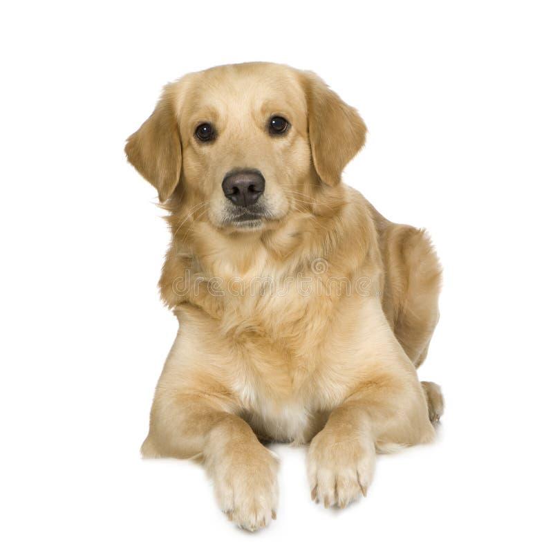 Download Crema Del Documentalista Di Labrador Fotografia Stock - Immagine di crema, doggy: 3885820