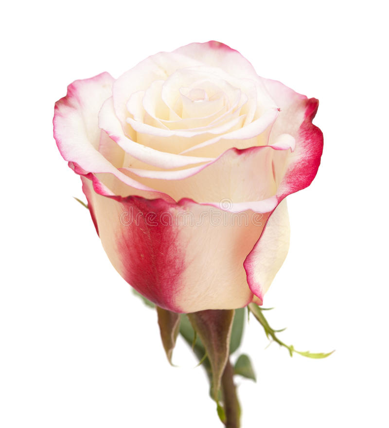Crema y rosa del rosa fotos de archivo