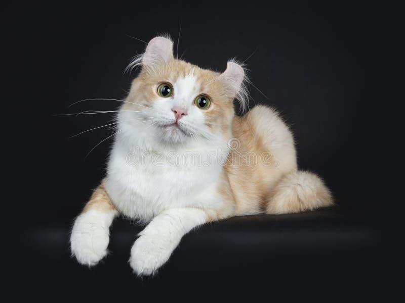 Creme με την άσπρη ενήλικη αμερικανική γάτα μπουκλών που βάζει στο μαύρο υπόβαθρο στοκ φωτογραφίες