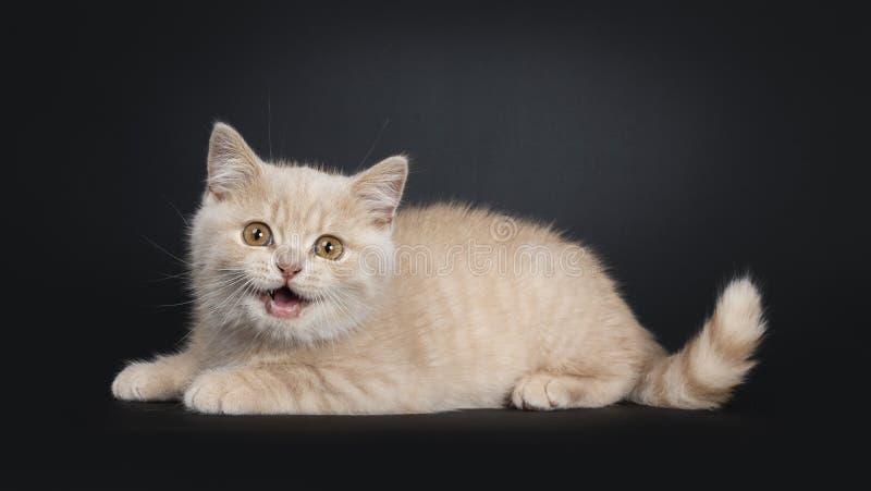 Creme-Britisch Kurzhaar-Kätzchen auf Schwarzem lizenzfreie stockbilder