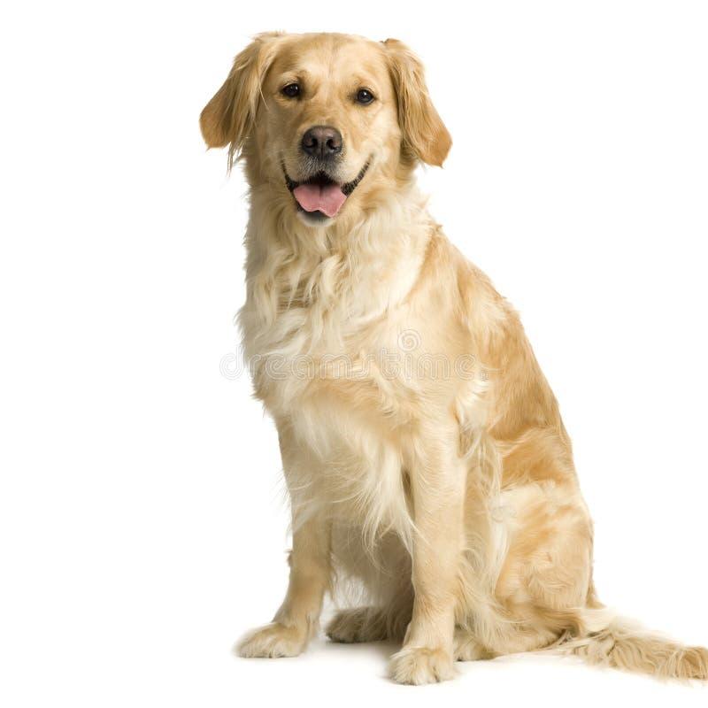 Creme do retriever de Labrador imagem de stock royalty free