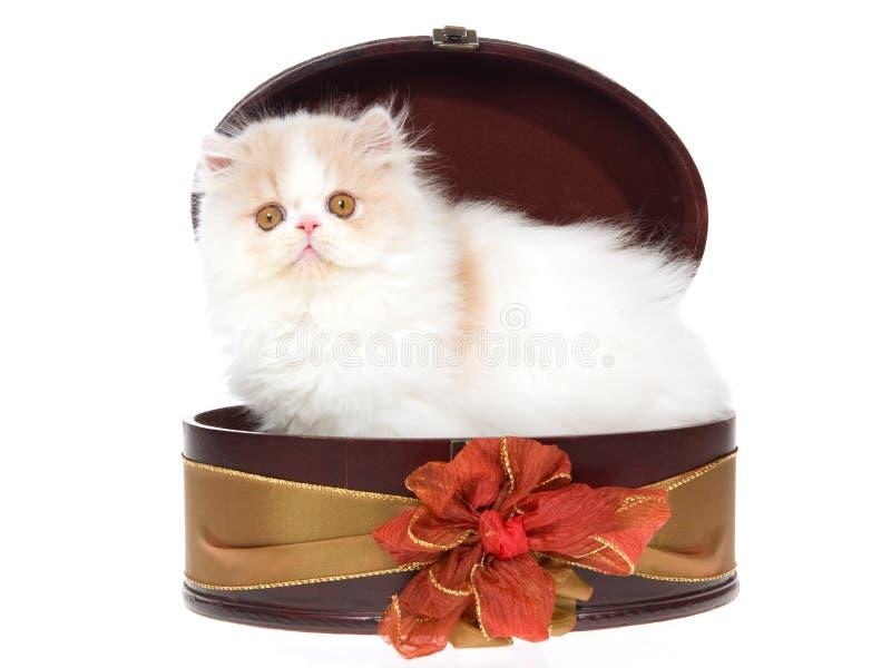Creme e gatinho persa branco na caixa de presente fotografia de stock