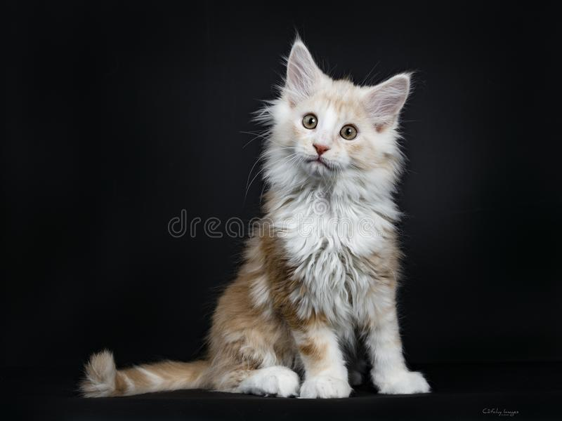 Creme Maine Coon kitten on black. Creme Maine Coon cat / kitten sitting side ways isolated on black background looking beside camera stock photography