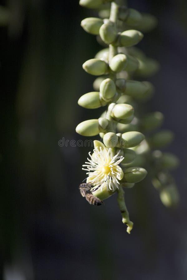 Cremefarbene Fuchsschwanz-Palmen-Blume mit Honigbienen-Bestäuber stockfoto