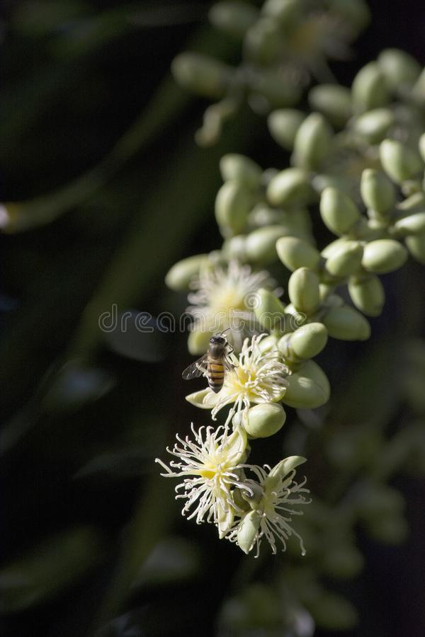 Cremefarbene Fuchsschwanz-Palmen-Blumen mit einer Honigbiene stockfoto