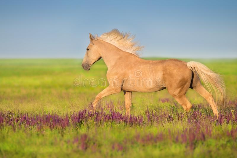 Cremello horse on salvia flowers royalty free stock image
