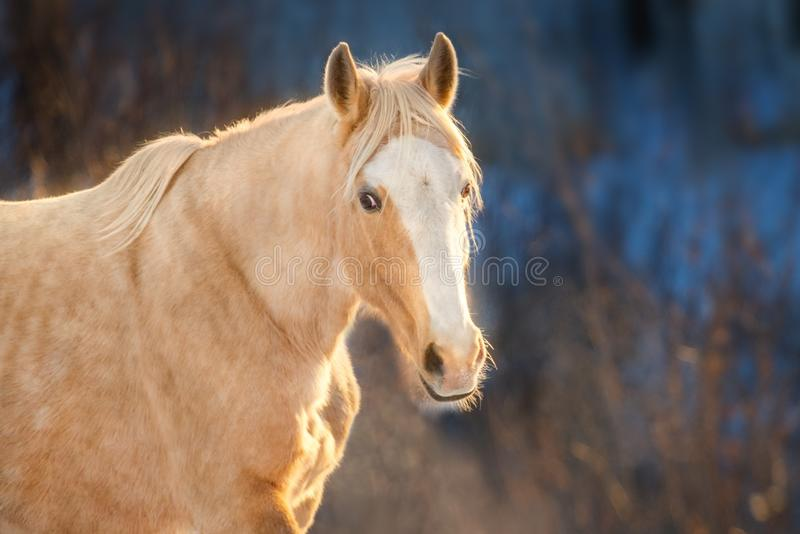 Cremello horse portrait. Palomino horse portrait in winter frosty day royalty free stock photography
