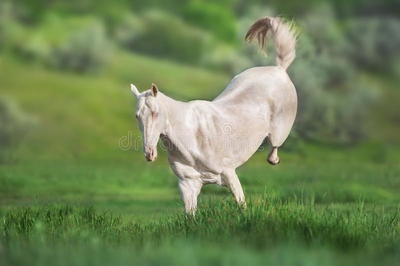 Cremello horse run royalty free stock images