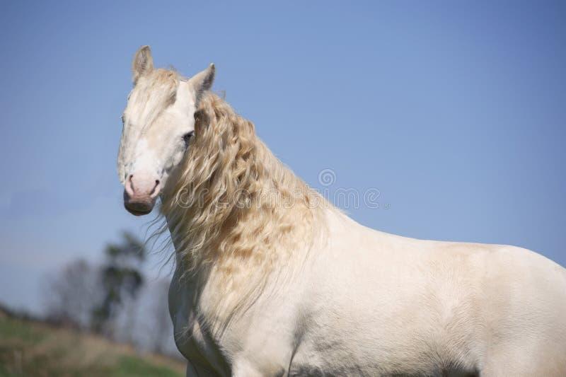 cremello koń zdjęcia stock