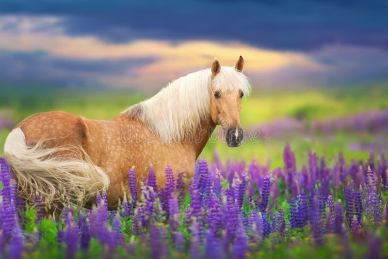 Cremello koń w lupine zdjęcia royalty free
