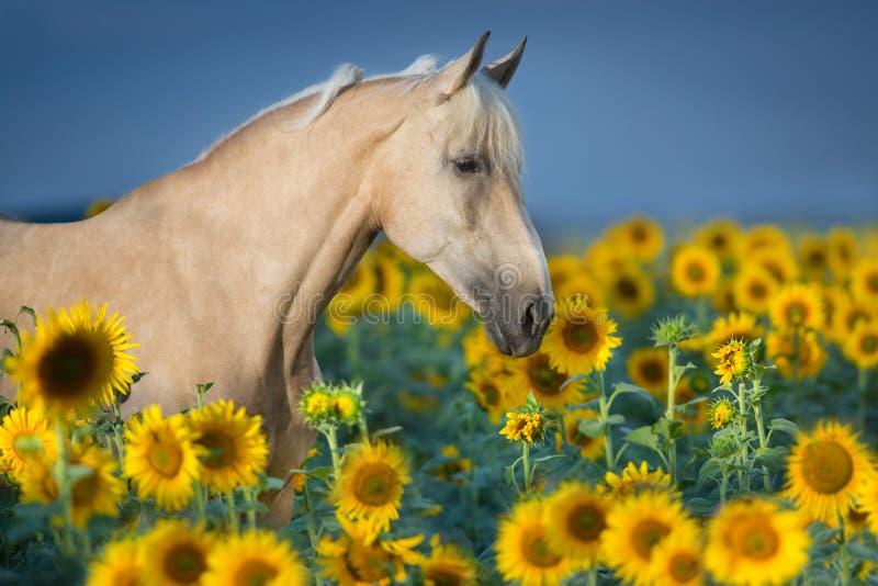 Cremello koń w słonecznikach obraz stock