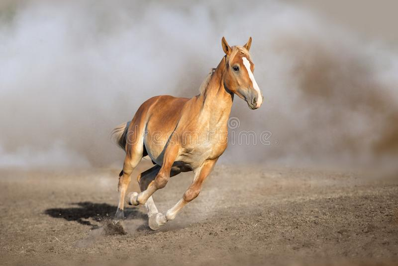 Cremello konia bieg obrazy royalty free