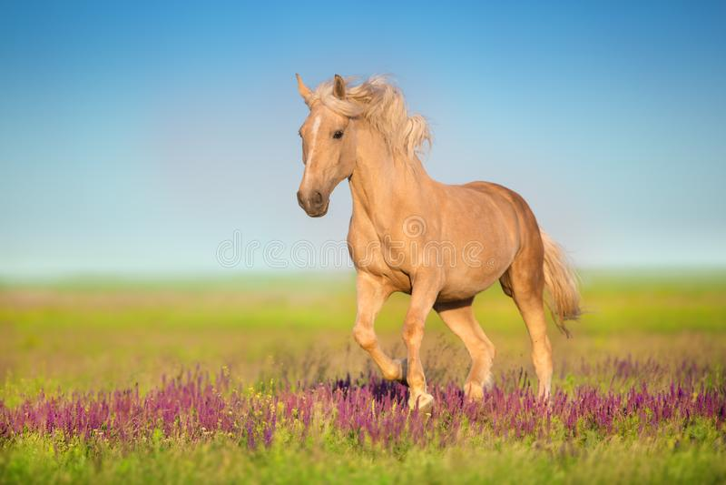 Cremello-Pferd in den Blumen stockfoto