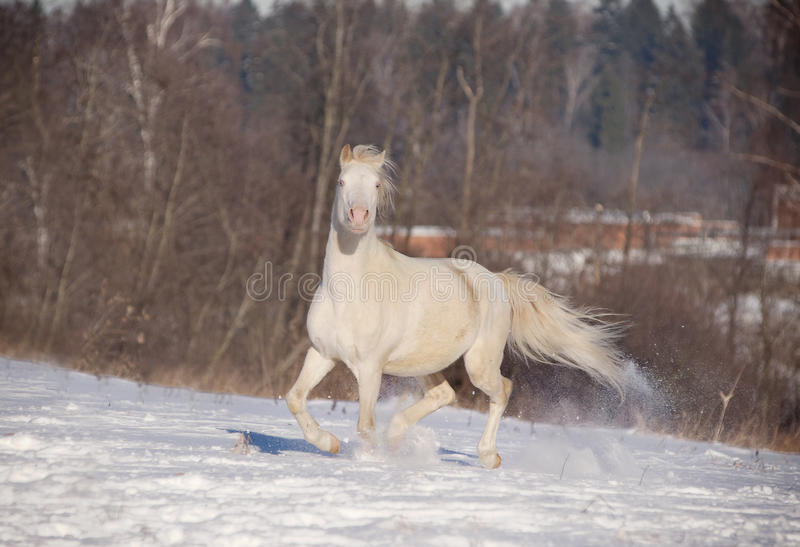 Download Cremello welsh pony stock photo. Image of outside, horse - 23137194