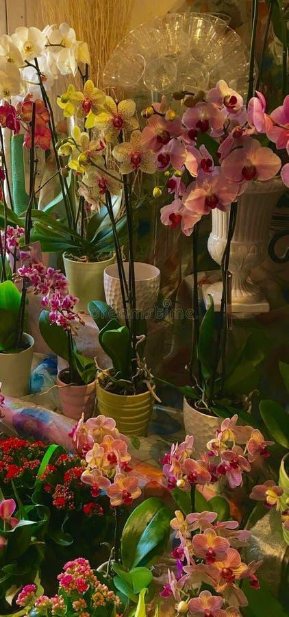 Cremona Włochy orchidee obraz royalty free