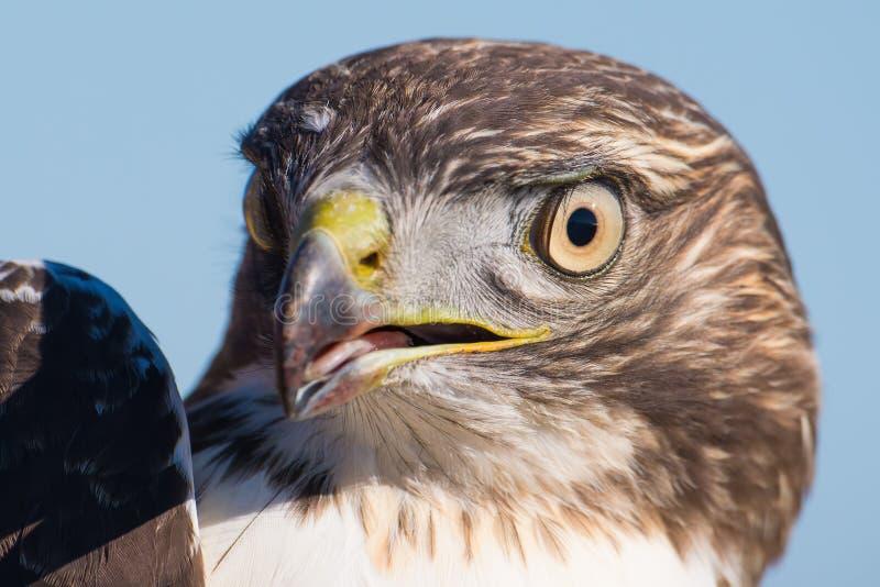 Creo un retrato juvenil agudo-shinned del halcón - cerca para arriba - en Hawk Ridge Bird Observatory en Duluth, Minnesota durant imagenes de archivo