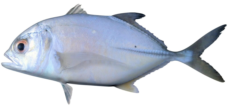 Creolefish atlantique illustration libre de droits