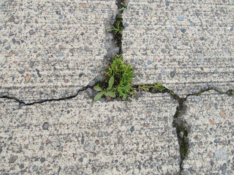 Crepa in calcestruzzo d'erosione con le erbacce che crescono in crepe fotografia stock libera da diritti