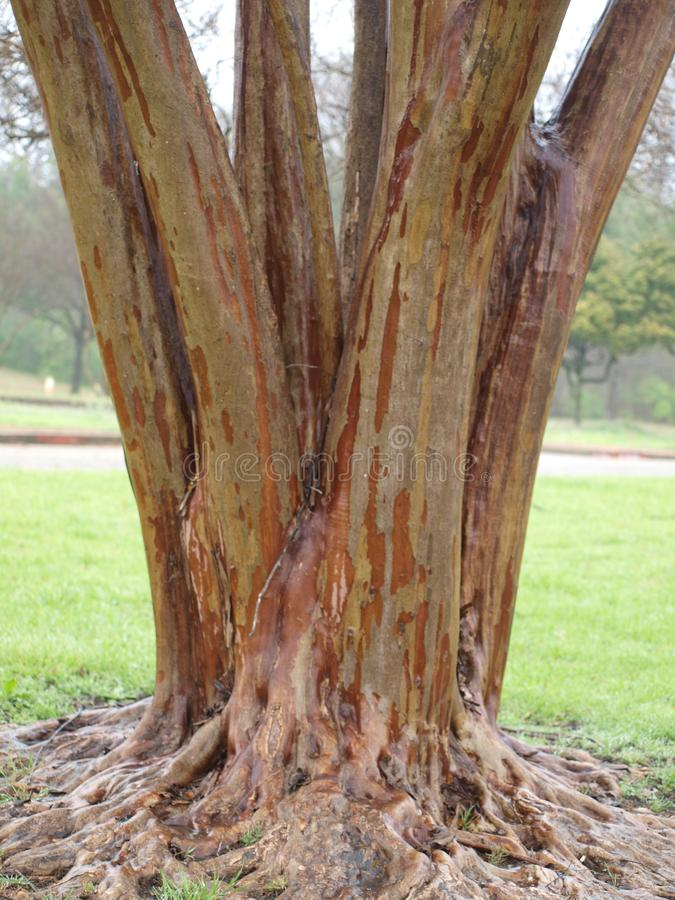 Wood Textures of Crepe Myrtle Tree. Crepe Myrle Trees in the south are a favorite in any landcaping. The little bushes grow into awesome trees, too. Here, is one stock images