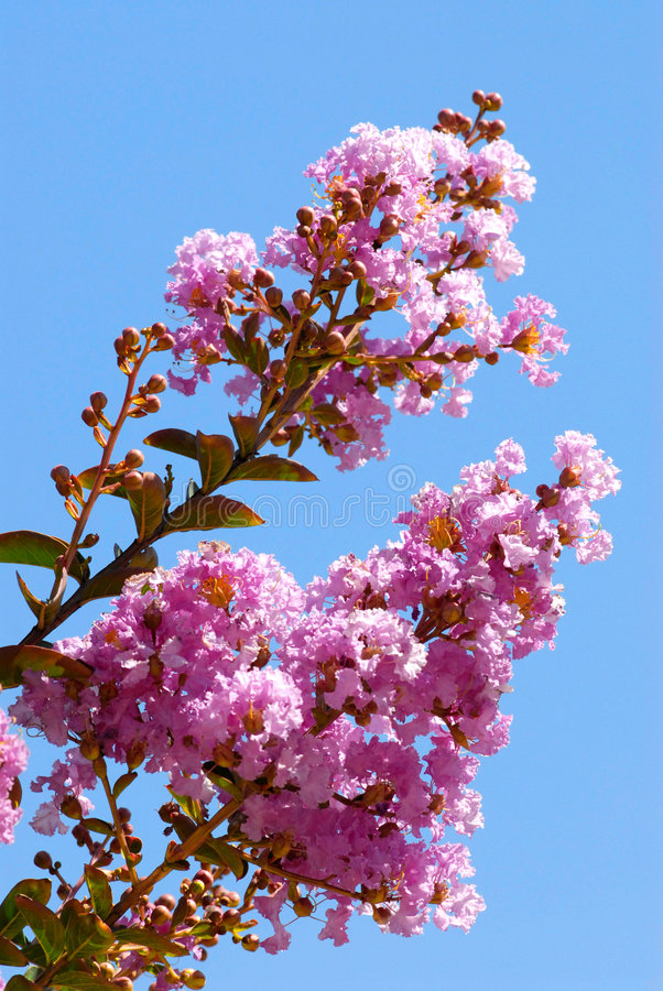 crepe myrtle λουλουδιών στοκ φωτογραφία με δικαίωμα ελεύθερης χρήσης