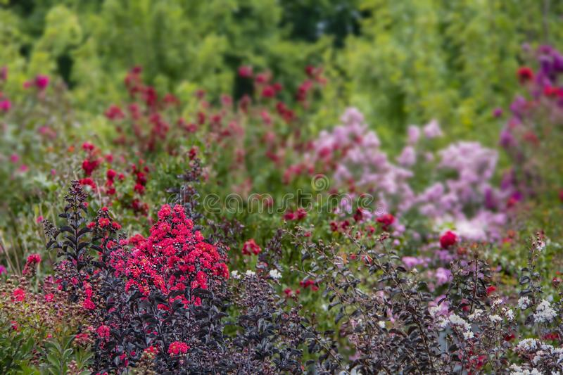 Crepe Myrtle background with in focus flowers and trees in foreground and blurred flowers in back - room for copy royalty free stock images