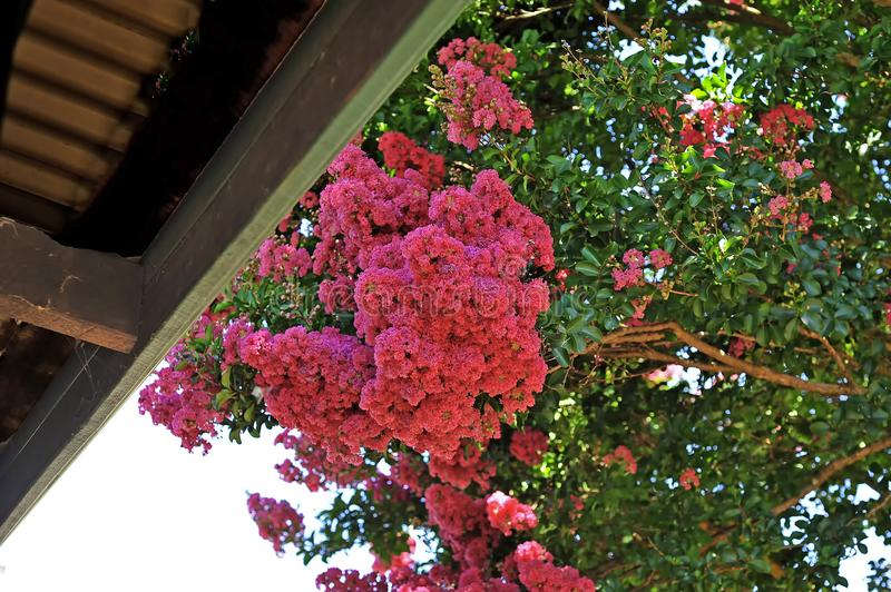 Crepe Myrtle with bright pink blossom. royalty free stock image