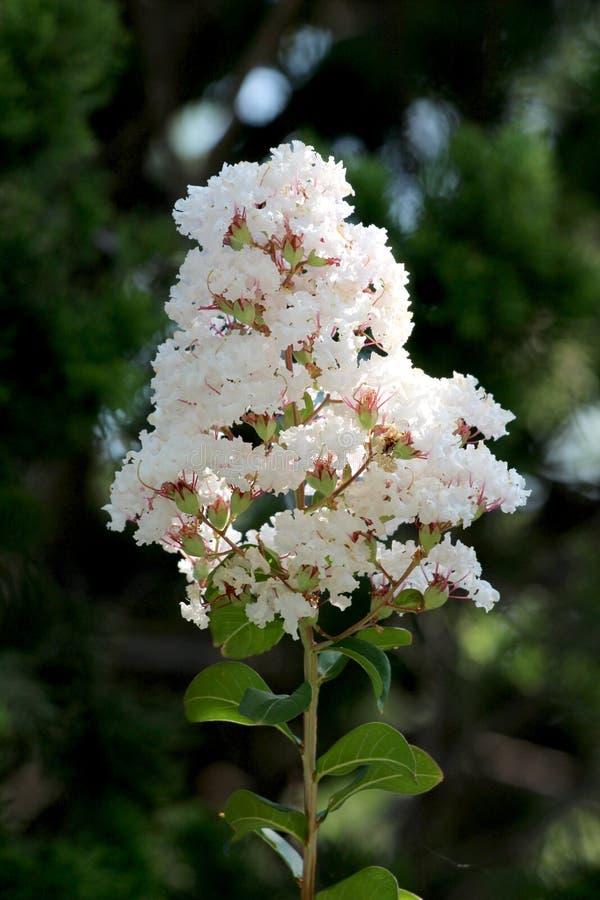 Crepe Myrtle eller Lagerstroemia indica deciduous tree plant med en enda gren full med öppna blommor av vita, små blommor arkivbilder