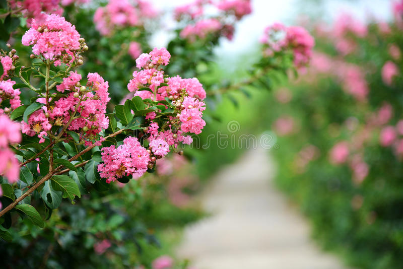 Crepe myrtle flower. Closeup pink Crape myrtle flower Lagerstroemia indica stock photography