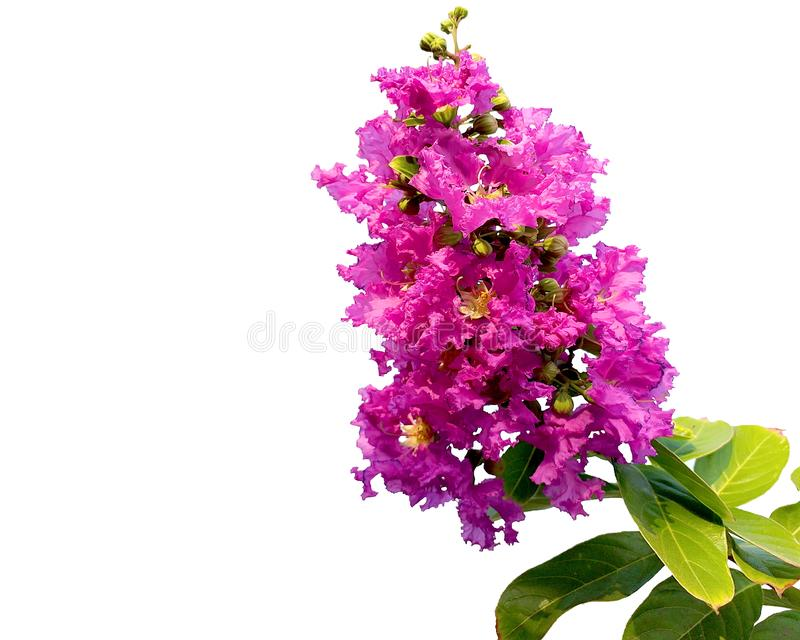 Crepe myrtle flower. Purple flowers isolated white background. stock photography