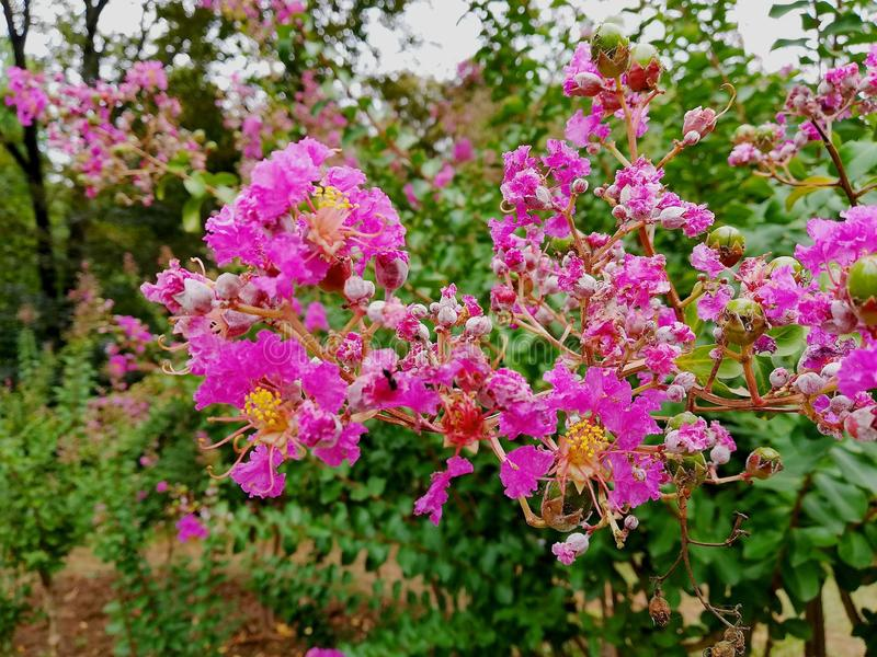 Crepe myrtle lagerstroemia close up flower stock image