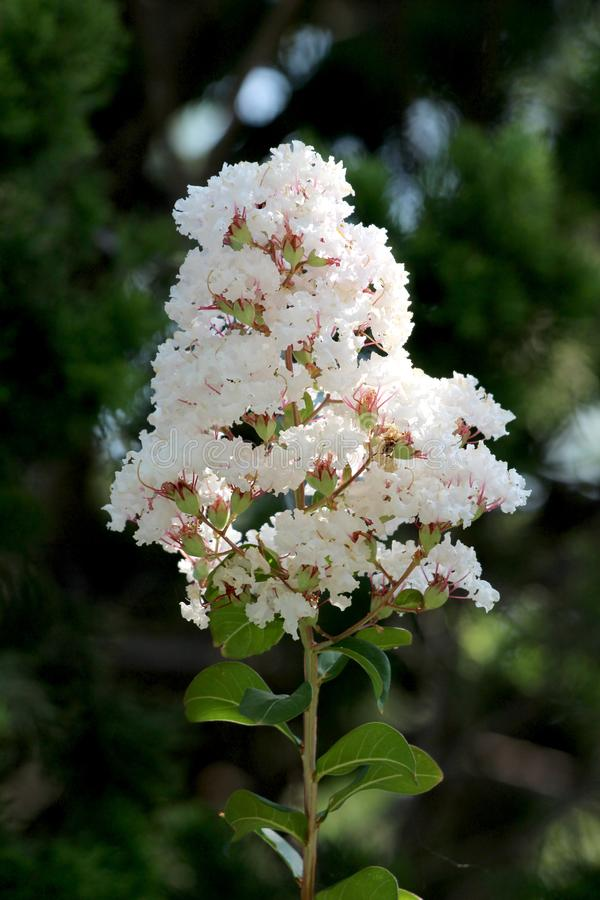 Free Crepe Myrtle Or Lagerstroemia Indica Deciduous Tree Plant With Single Branch Full Of Open Blooming White Small Flowers Stock Images - 167774644
