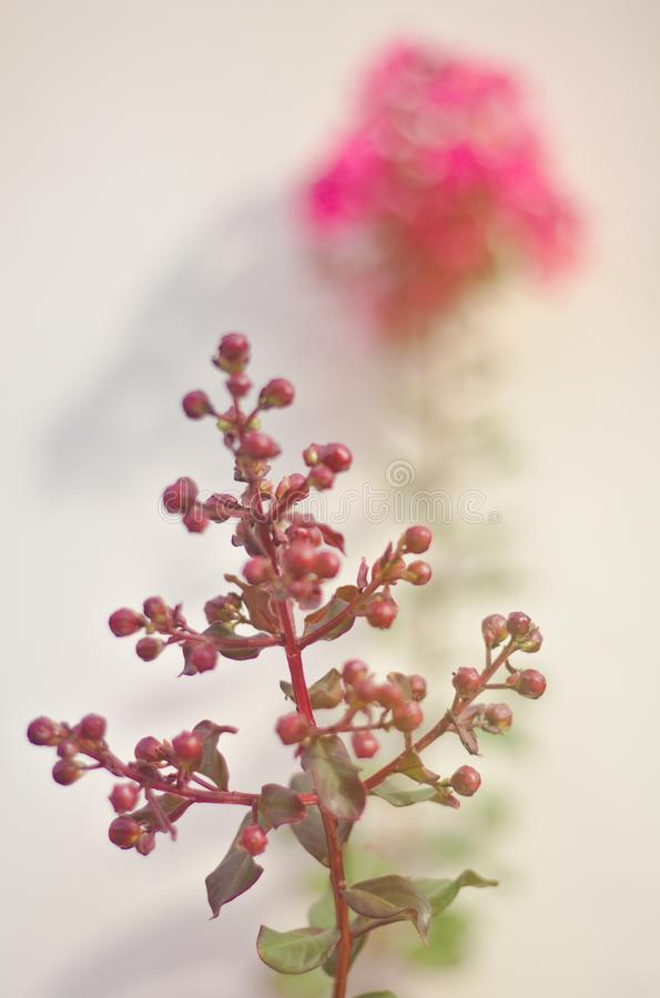 Crepe Myrtle Tree Background Brown Grain Blurred Pink Blossoms Bright morning light Natural summer garden illustration. Tropical flower bouquet stock photo