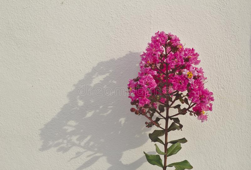 Crepe myrtle tree, bright pink inflorescence Green leaves Reflection background on a white wall. Tropical flower bouquet royalty free stock photo